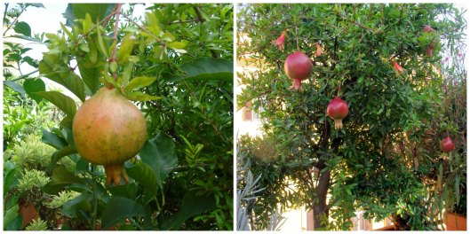 Melagrani (pomegranate trees) and melagrane (pomegranate fruit) on the roof of Hotel Columbia in Roma
