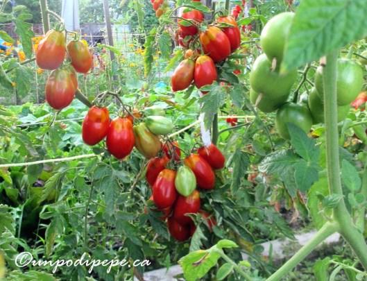 pomodori2015a