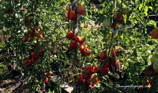 pomodori2015b