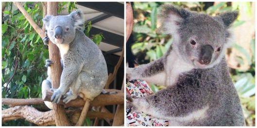 Koaladiptych