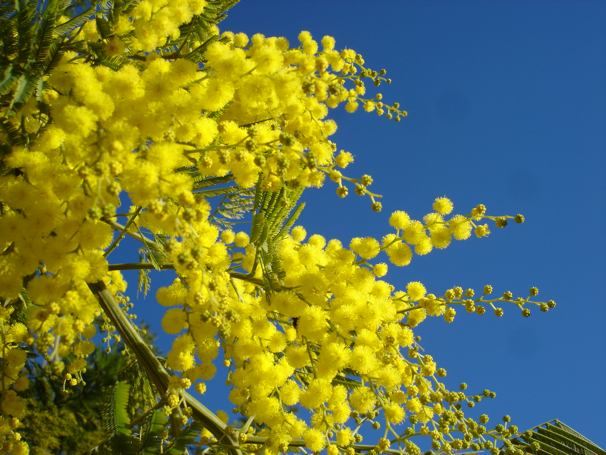 Цветок «мимоза или Акация серебристая. Описание 46