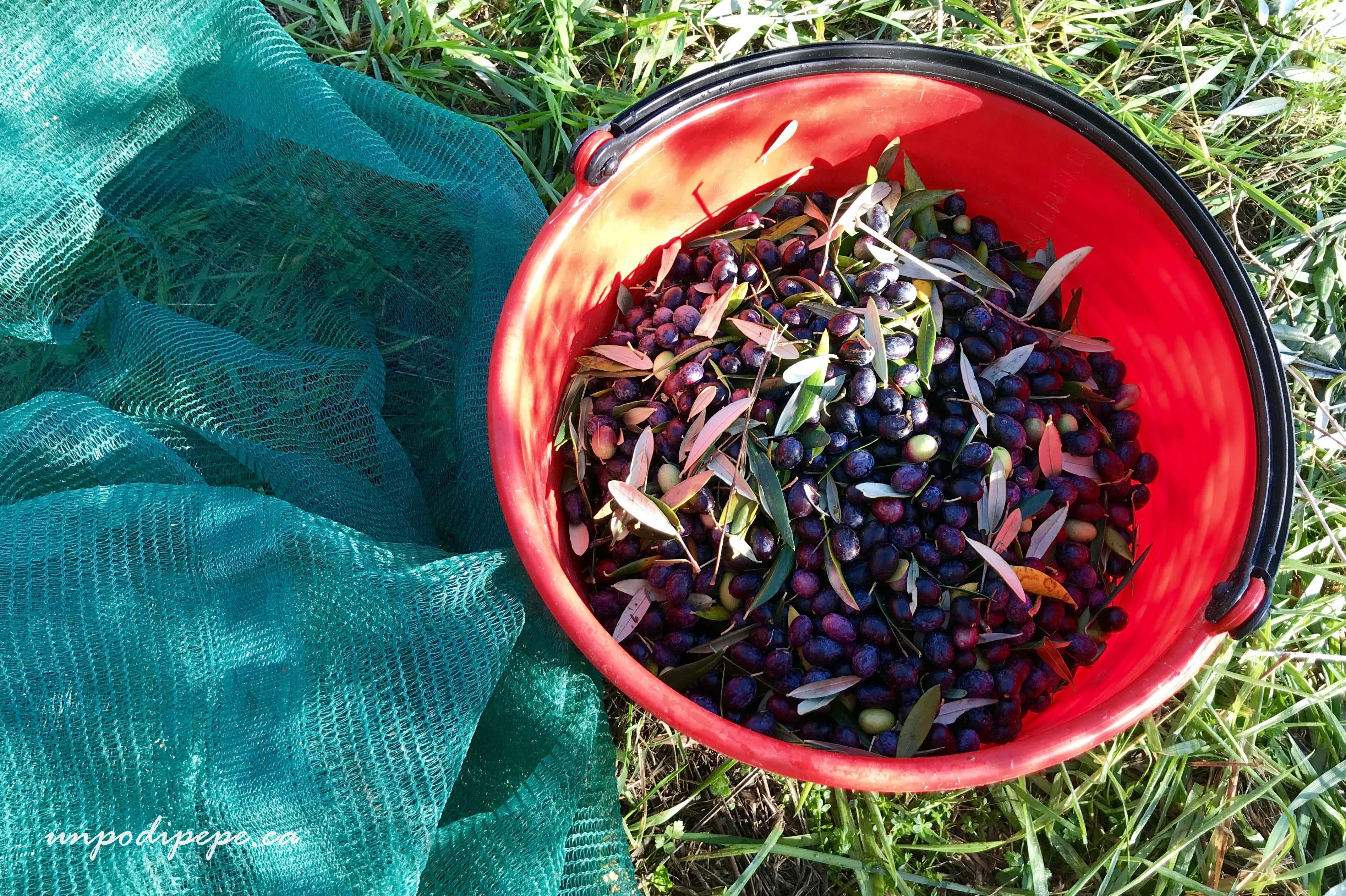 Olive, Casa Berti www.unpodipepe.ca