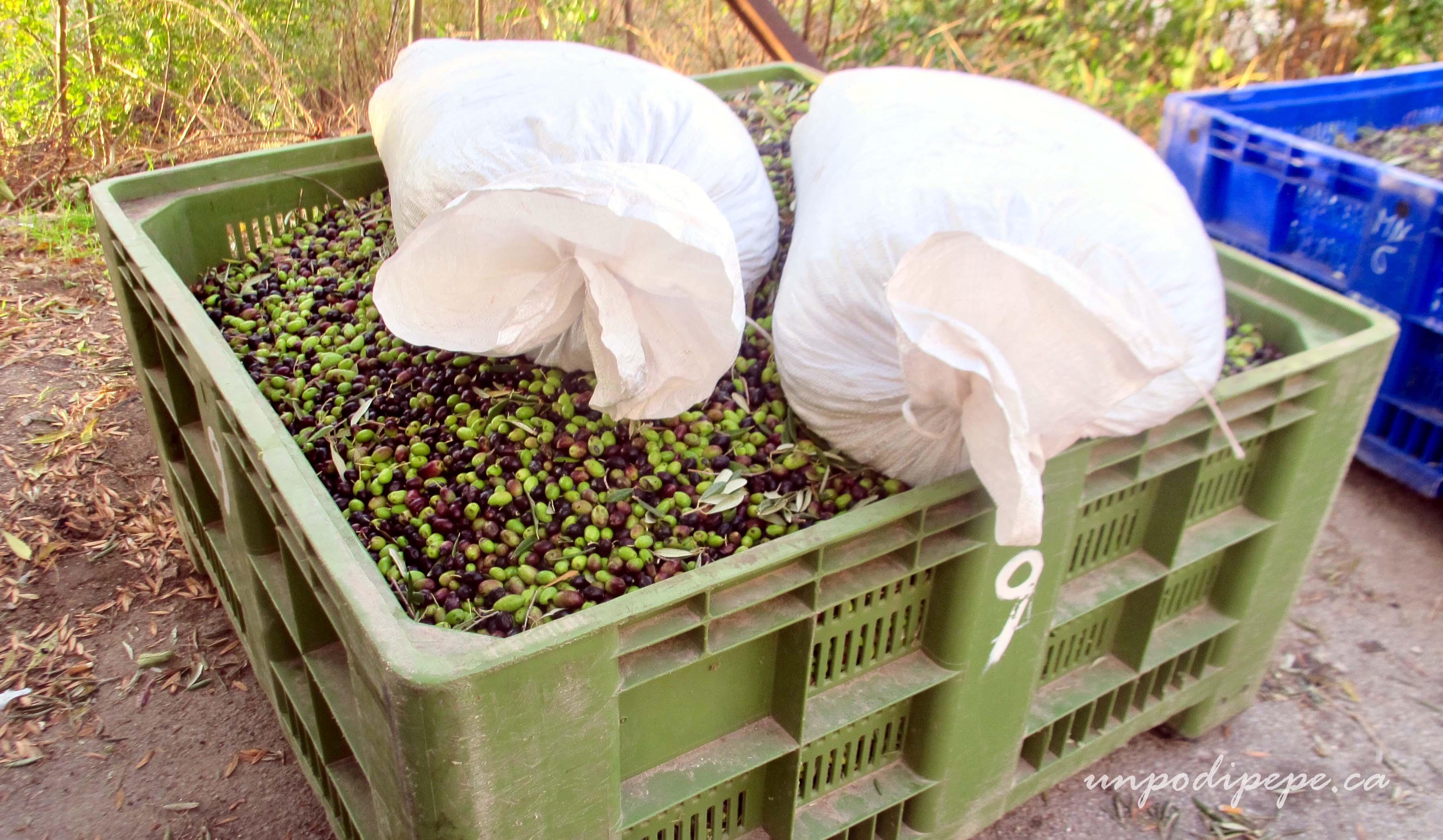 La raccolta delle olive www.unpodipepe.ca