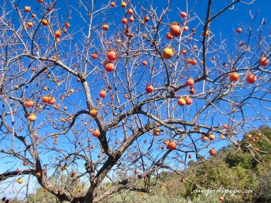 Albero di cachi orsara di Puglia, Persimmon tree
