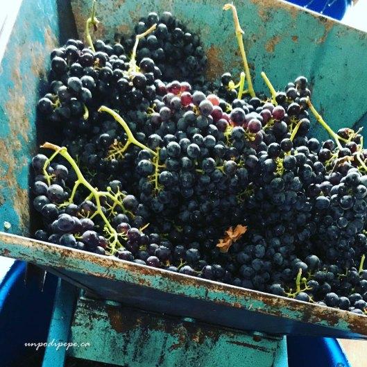 Grapes in the wine press Vino nel torchio