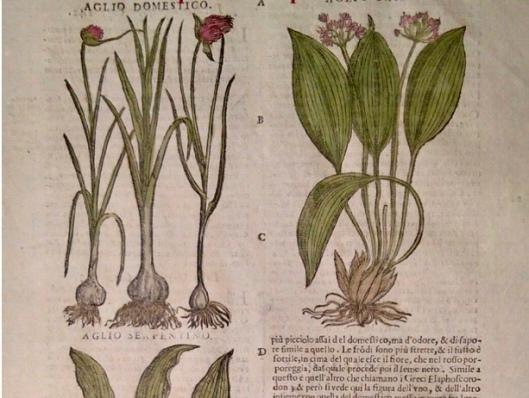 Garlic drawings